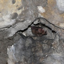 Brauner Langohrsegler in den Kasematten