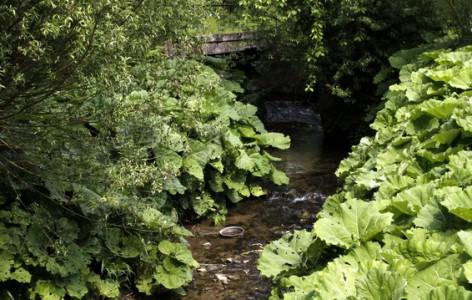 Pestwurz am Ufer der Bega in Dörentrup